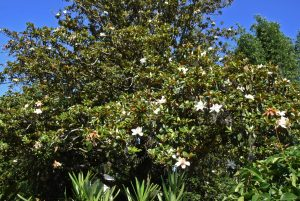 It takes a big magnolia to host 4,000 blossoms