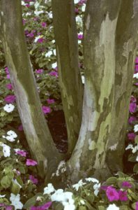 The white blooming Natchez crape myrtle with exfoliating trunk