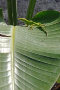 The native green anole needs tall vegetation to survive