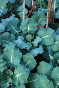 Broccoli is a good cool season crop