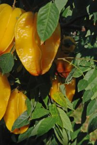 Star fruit grows on a medium sized tree