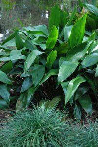 Aspidistra elatior - cast iron plant